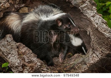 Mother Striped Skunk (mephitis Mephitis) And Kit In Log