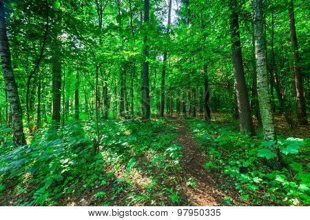 Wild European Forest In Summer