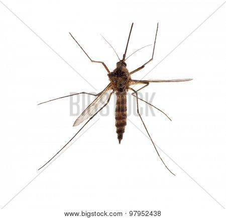 small mosquito isolated on white background