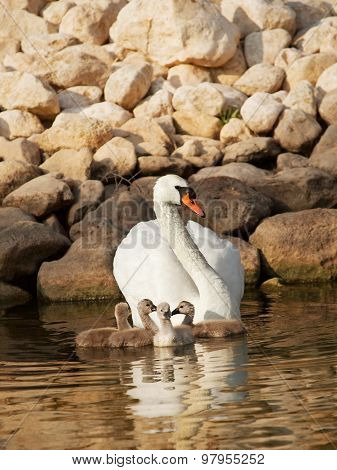 Swan With Little Baby Swans