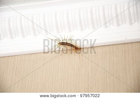 Garden Centipede