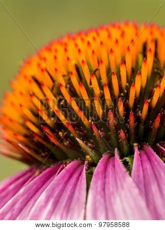 Closeup of purple echinacea flower over green background