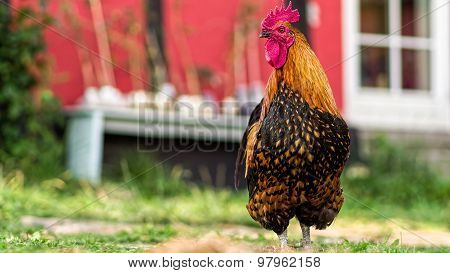 Danish Country Hen Rooster