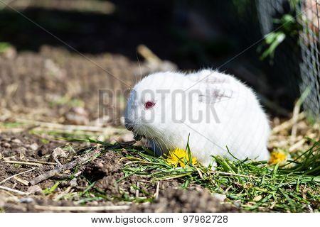 Rabbit Outdoors In Enclosure