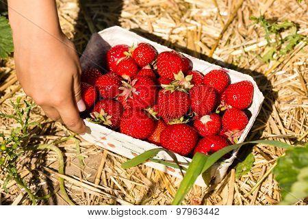 Fresh Strawberries In Box