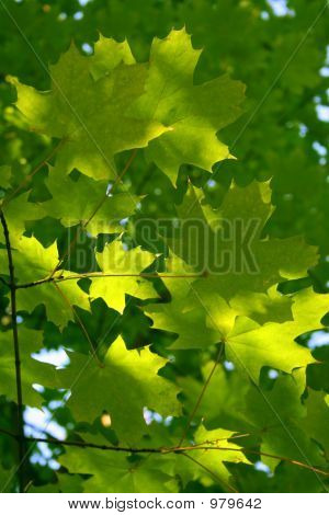 Branch Of A Maple With Autumn Leaves Of Green Color