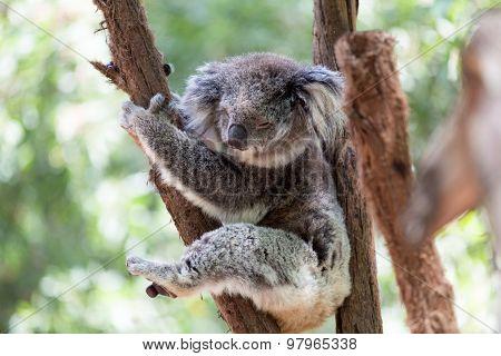 Koala Relaxing In A Tree, Australia. Close-up