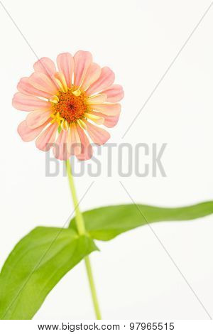 Fresh Cut Pink Zinnia