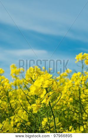 Rapeseed Field With Crop In Flower