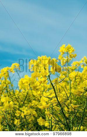 Rape Crop Field In Flower