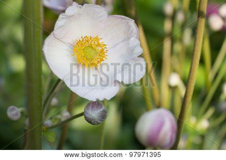 white anemone, pink blossom - flower background