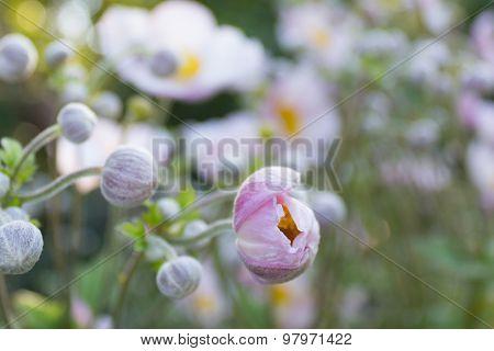 white flower meadow, summer