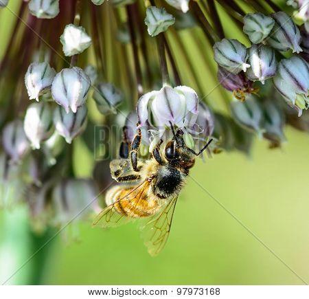 Honey Bee on Cluster.