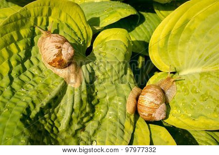 Two Garden Snail On Green And Yellow Hosta Leaves