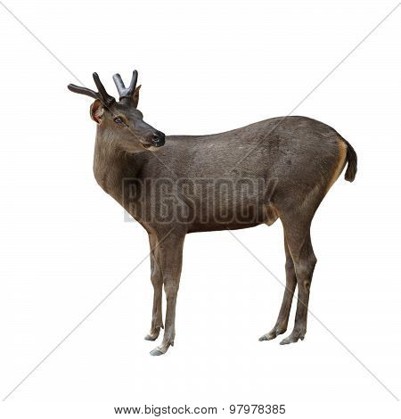 Male Brow Antlered Deer