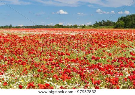Poppy Flowers Field Under Blue Sky