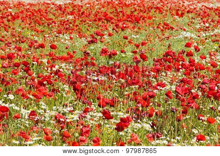 Poppy And Camomile Flowers Field