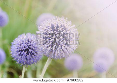 Allium Hollandicum Flower