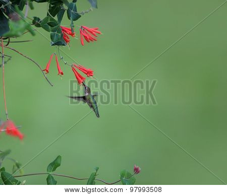 Humming bird feeding on Honey suckle flowers