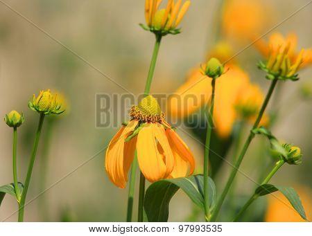 Close up of yellow Gerbera flowers