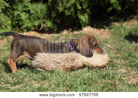 Gorgeous Dachshund Puppy In The Garden