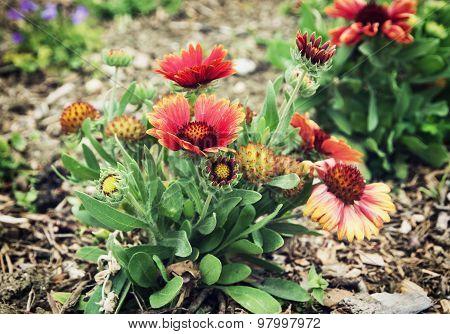 Gerbera Flowers In The Garden