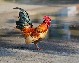 stock photo of roosters  - Beautiful multi colored rooster photographed close up - JPG