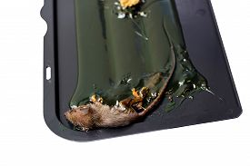 stock photo of mouse trap  - Dead little mouse on trapped tray on white background and clipping path - JPG