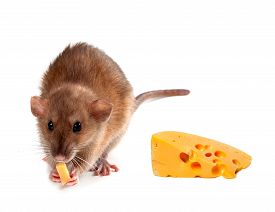 image of fancy mouse  - Fancy rat  - JPG