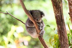 foto of eucalyptus trees  - Sleeping koala on eucalyptus tree sunlight on a branch - JPG