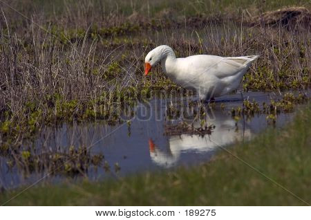 Goose With Reflection
