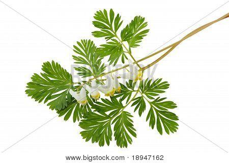 Dutchman's Breeches Dicentra Cucullaria