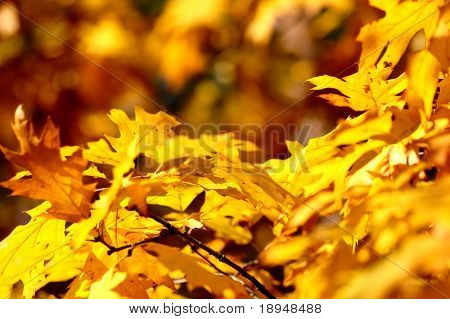 Autumn leaves on tree. Autumn, fall background