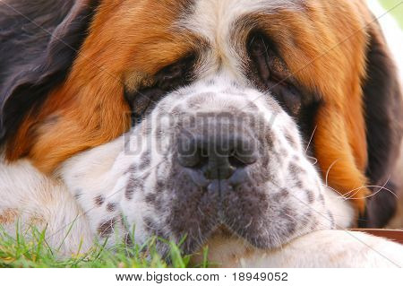 Portrait of dog lying on grass