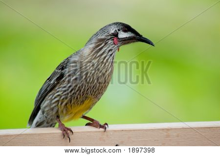 Australian Red Wattle Bird