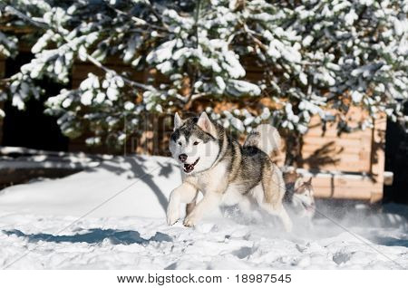 fast running adorable siberian husky dog at snowy winter outdoors