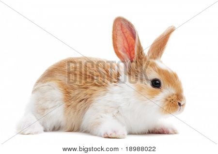 one young light brown and white spotted rabbits with long ears standing isolated on white