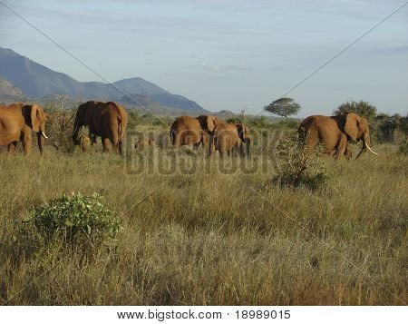 Elephants' migration through an african savanna. Kenyan Mountains and a beautiful sky at the horizon. Tsavo National Park - Kenya 2007.