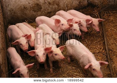 Group of Baby Pigs