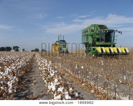 Cotton Field Harvest
