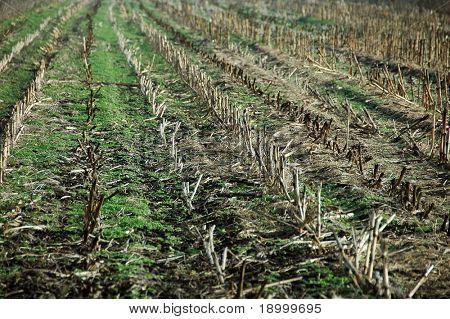 Harvested corn field