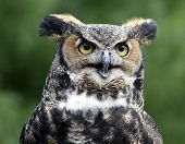 Great Horned Owl Queen Solomon