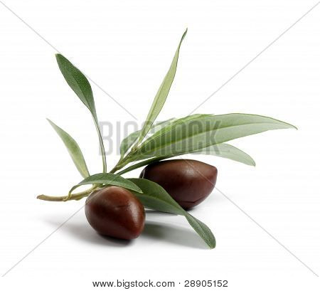 Fresh Olive Tree Branch With Olives