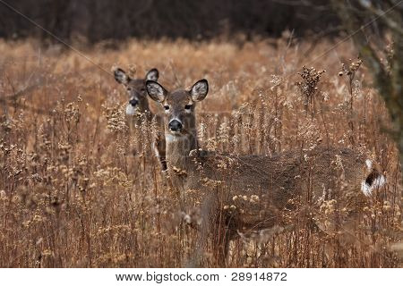 Deer/doe Posing In The Woodlands