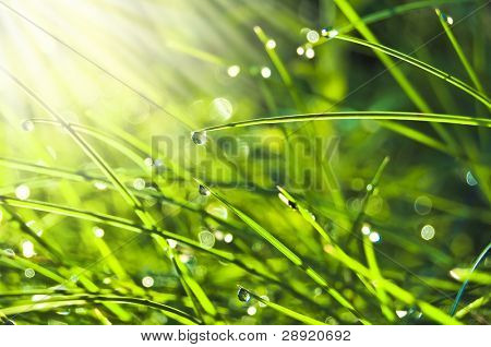 Water drops (dew) on grass in lights of the morning sun
