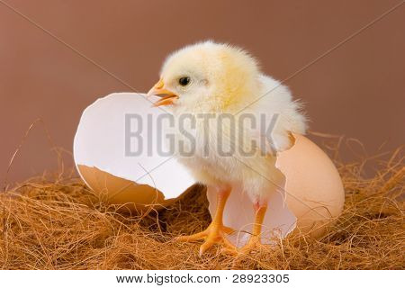 The chick pose near the egg shell, which it hatched previous day.