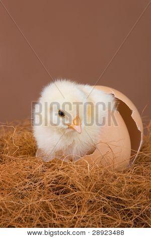 ein einem Tage alten Küken, die in der Eierschale, wo es vor ausgebrütet.