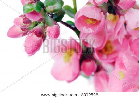 Beautiful Pink Buds