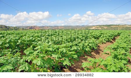 Outstretched potato field on a farm