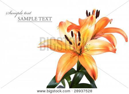 Orange and yellow lillies on a white background with space for text